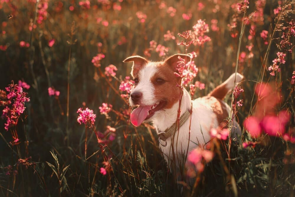 seasonal allergies in pets