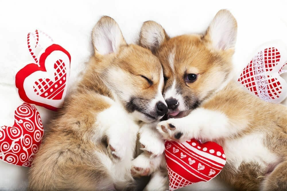 Valentines 'gifts' posing problems in our pets