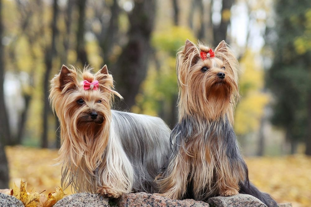 most expensive dog breeds