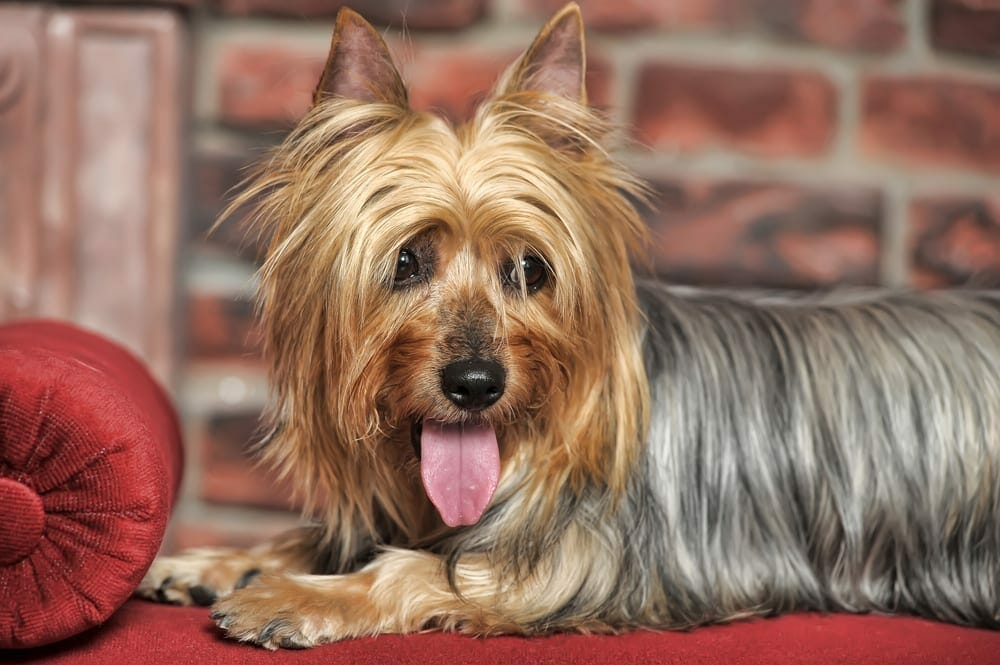 small low-shedding dog breeds