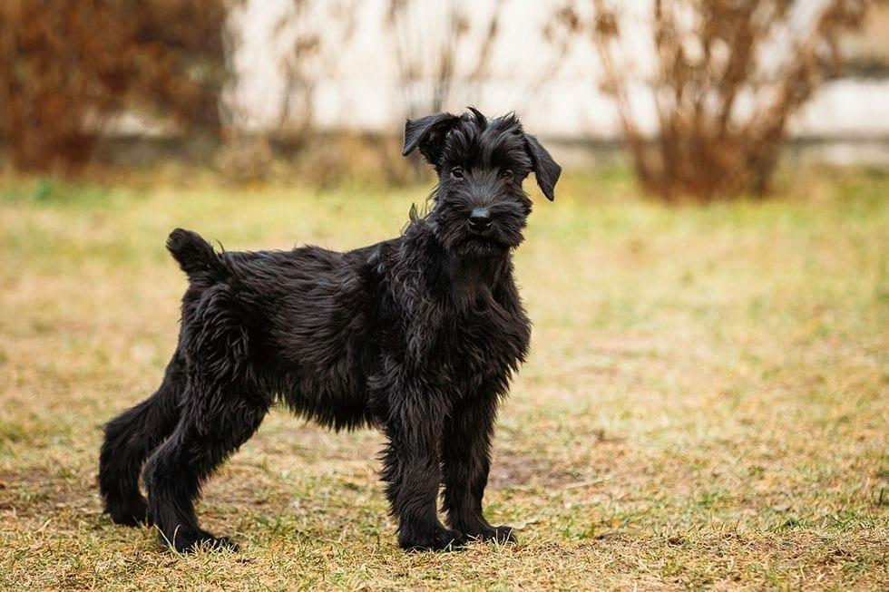 Top Low Shedding Dog Breeds