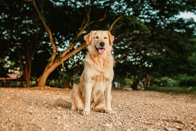 Golden Retriever - Helena Lopes